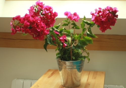 Colourful Bougainvillea