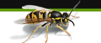 Bg Middleright Wasps