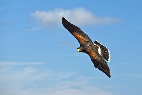 Harris Hawk Urban Bird control Bournemouth Southampton Portsmouth
