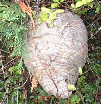Wasps Nest In Bush 1