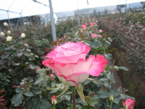 Ecuador - Roses growing in the middle of the world, high up in the Andean Mountains