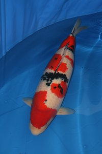 Quality nishikigoi in warrington aquarium and pond for Pool koi manchester