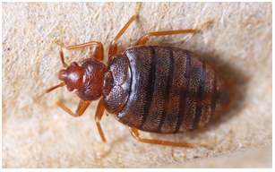 Bed Bug Eradication Bristol