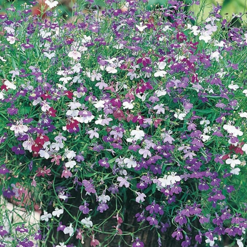 Mr. Fothergill's Lobelia Seeds